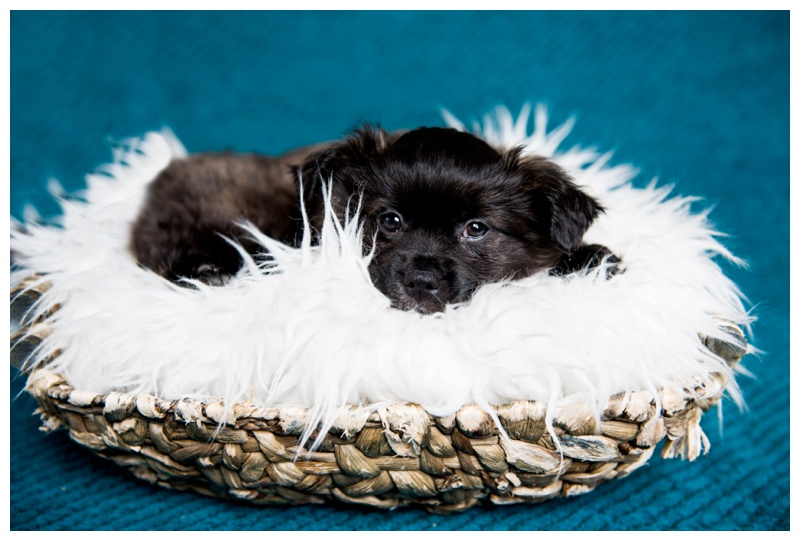 Calgary Newborn Puppy Photography